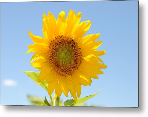 Sunflower Image Art Print Bluesky Metal Print featuring the photograph Sunflower by Patrick Short