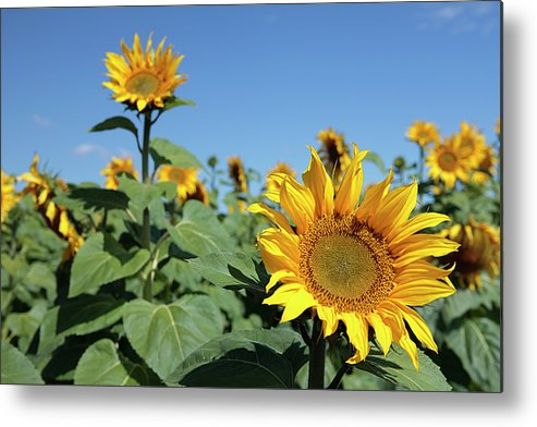 Sunflower Metal Print featuring the photograph Sunflowers by Neil Overy