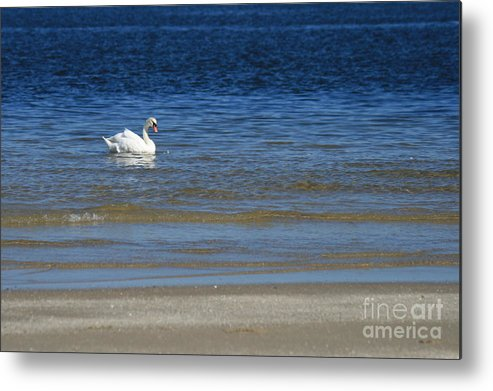 Swan Metal Print featuring the photograph Swan by Marta Grabska