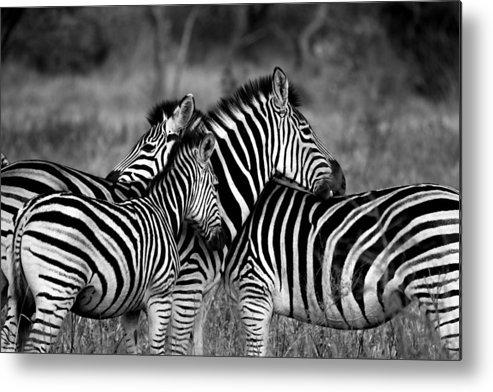 Wildlife Photographs Metal Print featuring the photograph The Amazing Shot Of Zebra by JDMakwana
