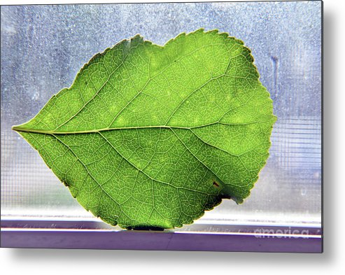 Leaf Metal Print featuring the photograph The Beauty Of A Leaf by Sara Matthews