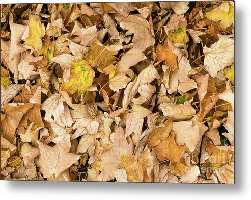 Autumn Metal Print featuring the pyrography The Colors Of The Leaves In Autumn by Emanuele D'Amico