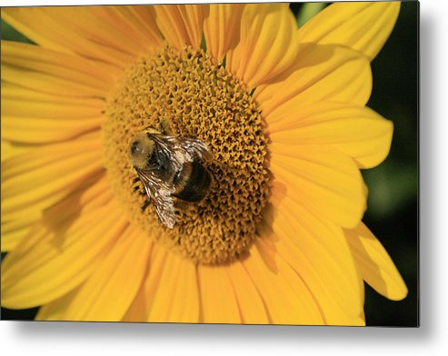 Sunflower Metal Print featuring the photograph The Courier by Alan Rutherford