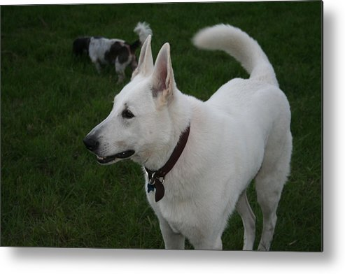 White German Shepherd Dog Metal Print featuring the photograph The Dog Park by Susana Maria Rosende