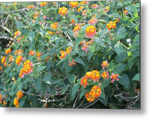 Flowers Metal Print featuring the photograph The Lantana In The Near 20 by Laura Martin