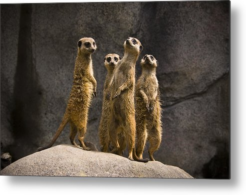 Chad Davis Metal Print featuring the photograph The Meerkat Four by Chad Davis