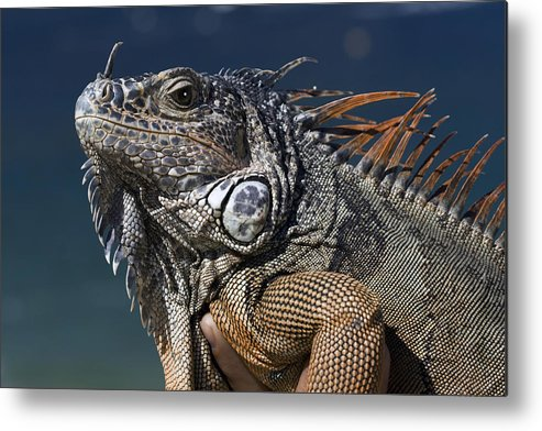 Animal Metal Print featuring the photograph The Night Of The Iguana by Carl Purcell