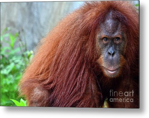 Orangutan Metal Print featuring the photograph The Staring Contest by Spade Photo
