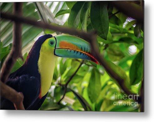 Michelle Meenawong Metal Print featuring the photograph The Toucan by Michelle Meenawong