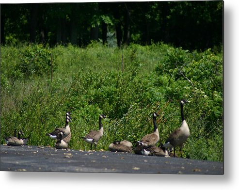 Geese Metal Print featuring the photograph Three Heads by Kevin Dunham