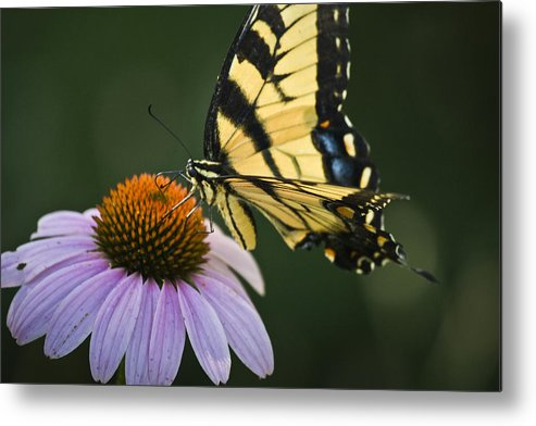 Garden Metal Print featuring the photograph Tiger Swallowtail 2 by Teresa Mucha