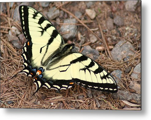 Tiger Metal Print featuring the photograph Tiger Swallowtail by Jeff VanDyke