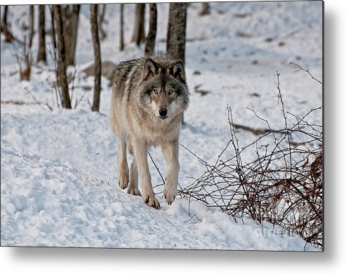 Michael Cummings Metal Print featuring the photograph Timber Wolf In Snow by Michael Cummings