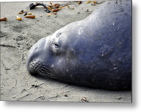 Seal Metal Print featuring the photograph Tired Seal by Shannon Nickerson