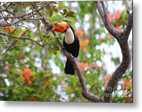 Toucan Metal Print featuring the photograph Toco Toucan by Ralf Broskvar