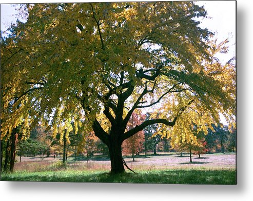 Tree Metal Print featuring the photograph Tree by Flavia Westerwelle