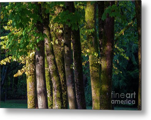 The Autumn Sunny On The Trees Metal Print featuring the photograph Trees by Yu Wen Rao