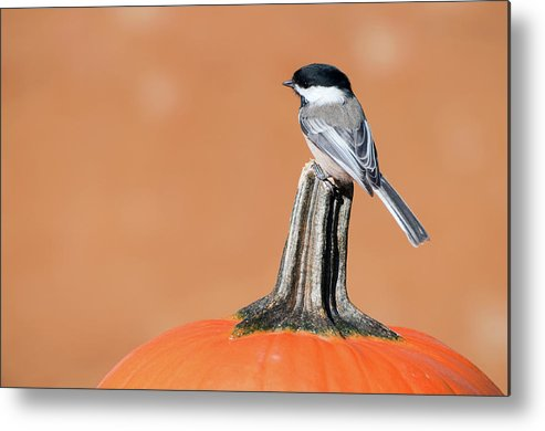 Autumn Metal Print featuring the photograph Trick Or Tweet. by Kelly Nelson