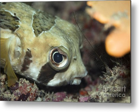 Diodon Metal Print featuring the photograph Tropical Fish Porcupinefish by MotHaiBaPhoto Prints