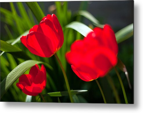 Flower Metal Print featuring the photograph Tulip by Dave Perks
