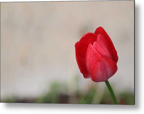 Tulip Metal Print featuring the photograph Tulip by Lauri Novak