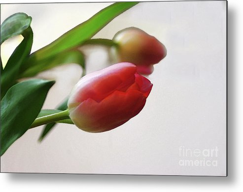 Tulip Metal Print featuring the photograph Tulipa by Jacqi Elmslie