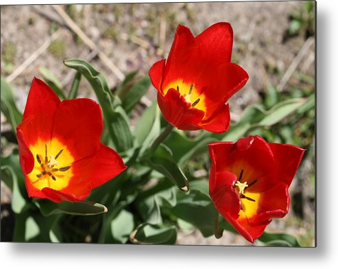 Tulips Metal Print featuring the photograph Tulips In Bloom by Janet Hall