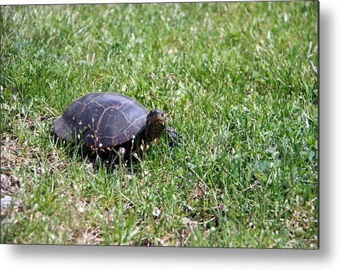 Turtle Metal Print featuring the photograph Turtle In The Grass by George Jones