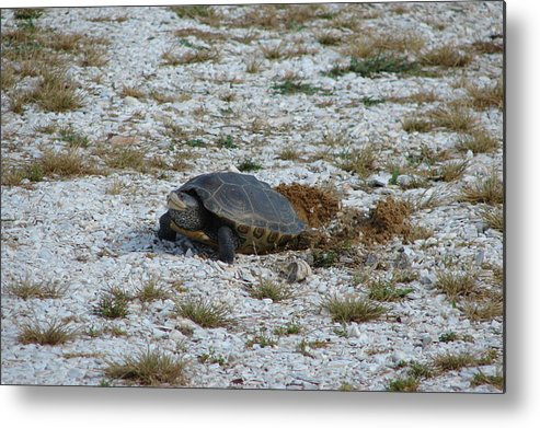 Turtle Metal Print featuring the photograph Turtle Laying Eggs by Gregory Smith