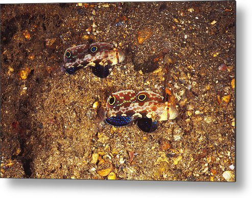 Solomon Islands Metal Print featuring the photograph Twinspot Goby Pair , Signigobius by James Forte