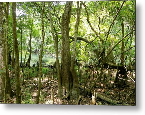 Manatee Springs Chiefland Florida Metal Print featuring the photograph Twist Of Color by Sheri McLeroy