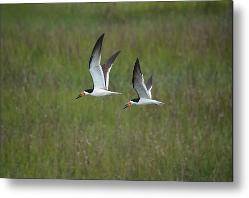 Water Marsh Black Skimmer Metal Print featuring the photograph two Black Skimmers in flight by Michael Hatfield