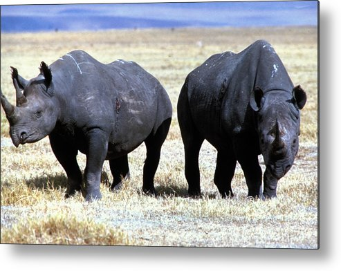 Gray Metal Print featuring the photograph Two Rhinos by Carl Purcell