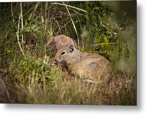 Unita Ground Squirrel Metal Print featuring the photograph Unita Ground Squirrel by Chad Davis