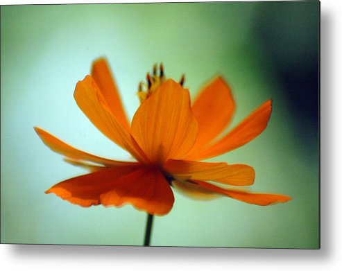 Flower Metal Print featuring the photograph Untitled by Lucas Armstrong