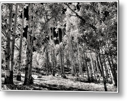 Up Among The Aspens Metal Print featuring the digital art Up Among The Aspens by William Fields