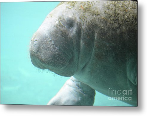 Manatee Metal Print featuring the photograph Up Close With A Manatee by DejaVu Designs