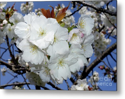 Terry Elniski Photography Metal Print featuring the photograph Vancouver 2017 Spring Time Cherry Blossoms - 5 by Terry Elniski