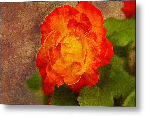 Variegated Metal Print featuring the photograph Variegated Beauty - Rose Floral by Barry Jones