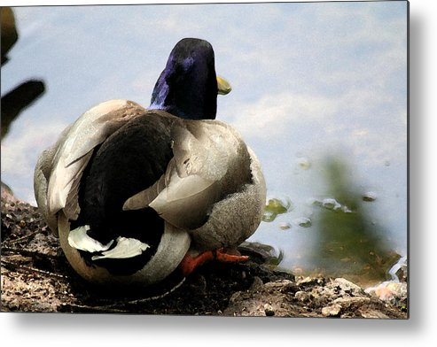 Duck Metal Print featuring the painting Waiting by Diana Gonzalez