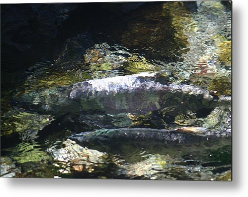 Fish Metal Print featuring the photograph Waiting by Jeffrey Ober