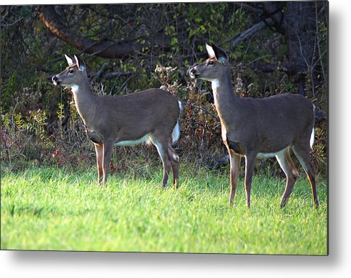 Deer Metal Print featuring the photograph Watching You by Alan Dean