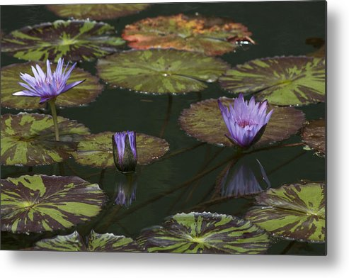 Water Lilies Metal Print featuring the photograph Water Lilies by Allen Lefever