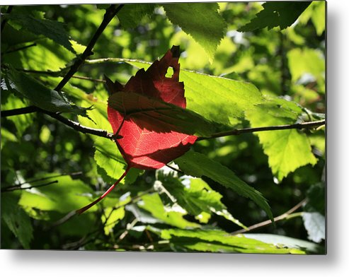 Foliage Metal Print featuring the photograph Wealth by Alan Rutherford