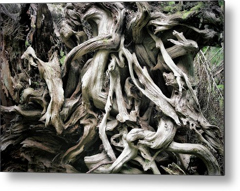 Roots Metal Print featuring the photograph Weathered Roots - Sitka Spruce Tree Hoh Rain Forest Olympic National Park Wa by Christine Till