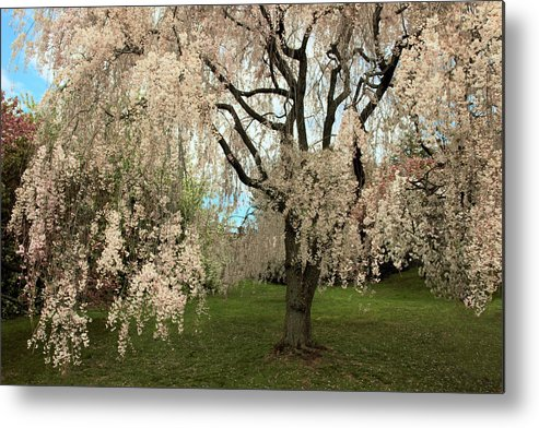 Tree Metal Print featuring the photograph Weeping Asian Cherry by Jessica Jenney