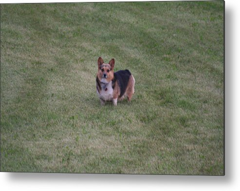 Dog Metal Print featuring the photograph Welsh Corgie by Linda Ostby
