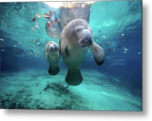 Horizontal Metal Print featuring the photograph West Indian Manatees by James R.D. Scott