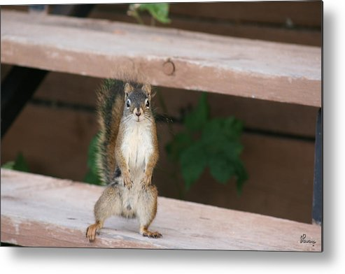 Squirrel Mother Nature Wild Animal Cute Dancing Metal Print featuring the photograph What You Lookin At by Andrea Lawrence