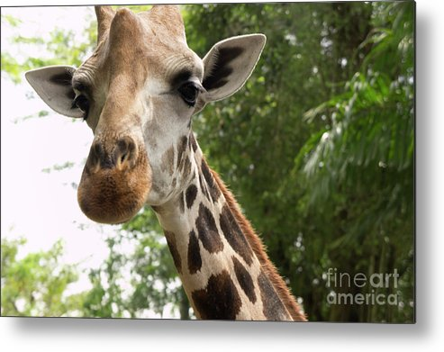 Giraffe Metal Print featuring the photograph What's New by Marie Loh